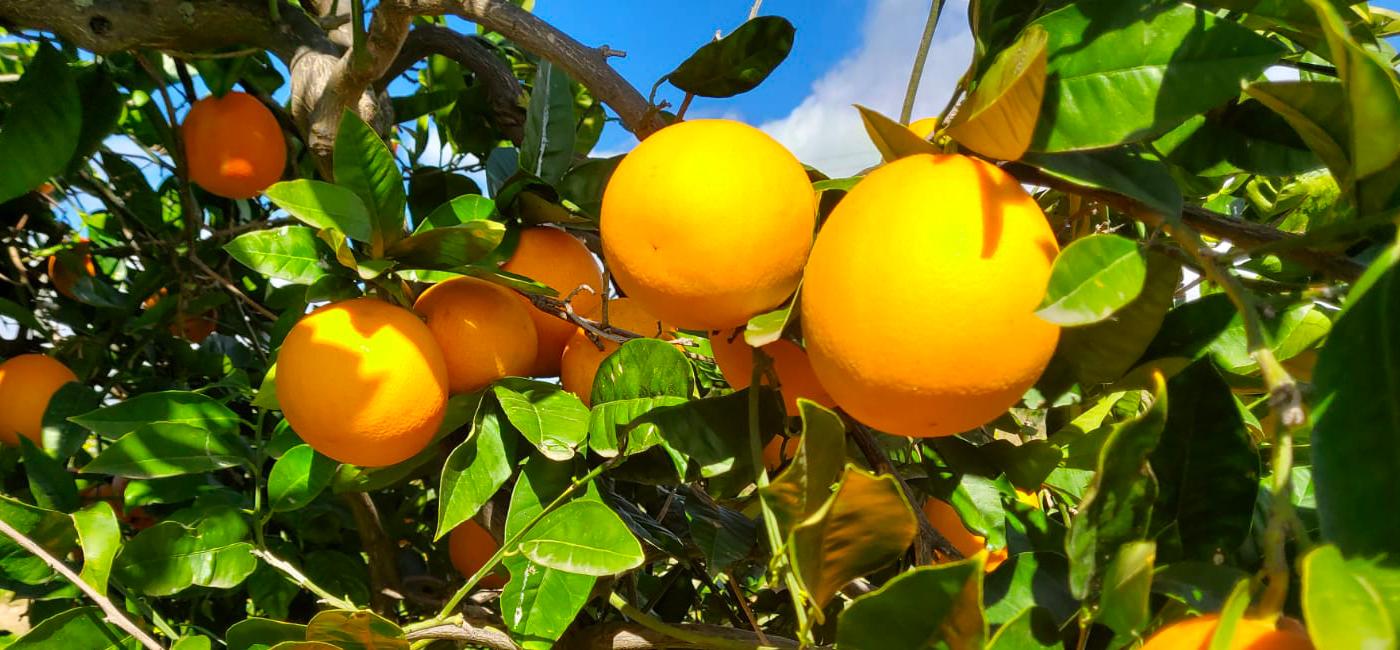 Varietà delle arance